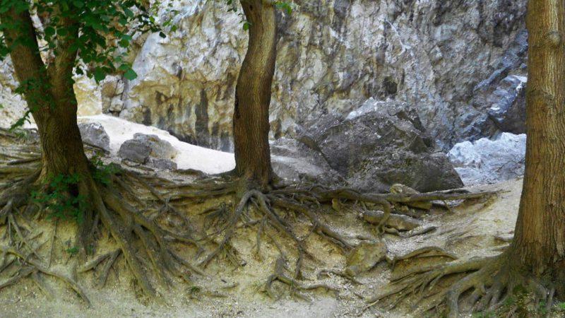 Obnažené kořeny stromů