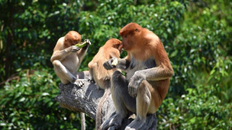 Fascinující primáti na ostrově Borneo