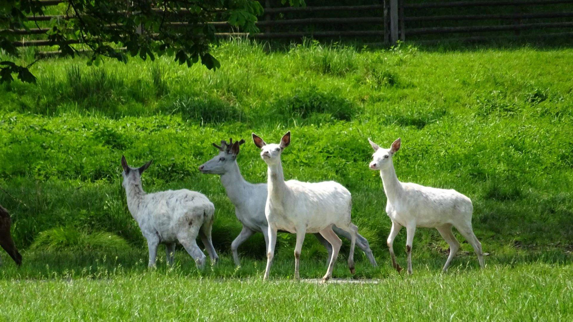 Obora Žleby u zámku s bílými jeleny